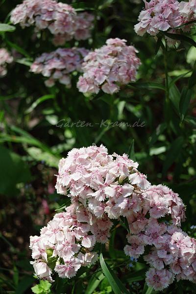 rosa Bartnelken