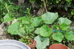 Kürbispflanze