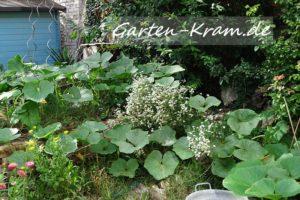 Der Kürbis mäandert durch den Garten
