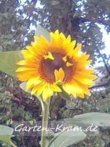 Sonnenblume als Gesicht, das die Zunge rausstreckt