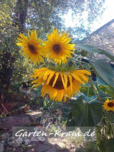 Gesicht aus drei Sonnenblumen