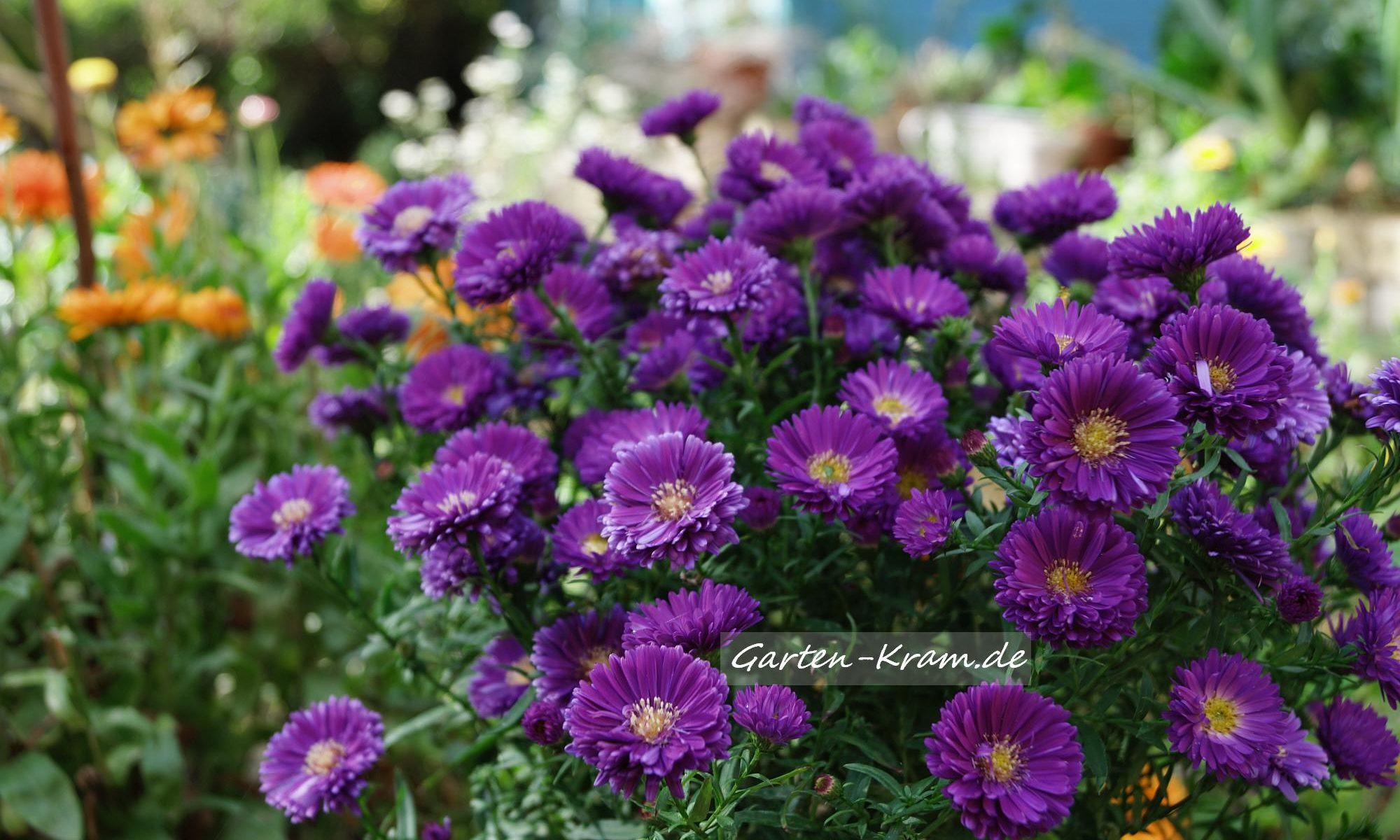 violette-herbstaster