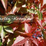 Wilder Wein mit roten Blättern
