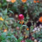 Strohblume