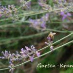 Honigbiene am Lavendel