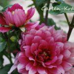 rosa Dahlienblüte