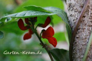 Blüte der Prunkbohne