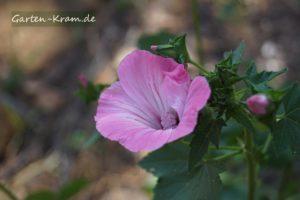 rosa bechermalve
