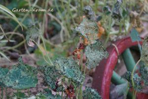 erdflohbefall bei kapuzinerkresse