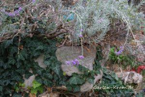 Alter Sandsteintrog mit Lavendel und Efeu bewachsen