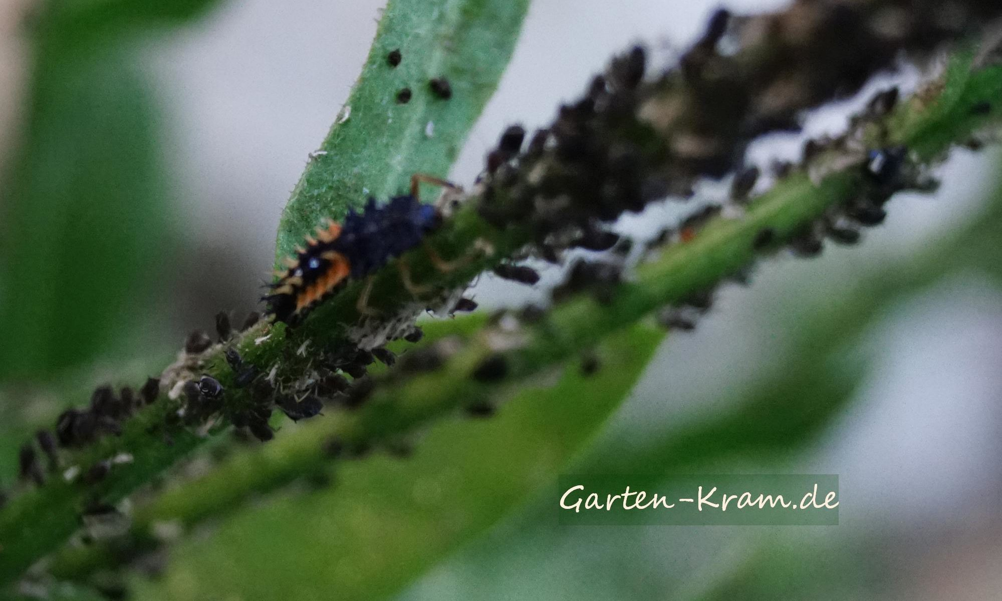 Marienkäferlarve frisst Blattläuse